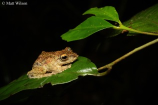 Frilled tree frog (Kurixalus chaseni)