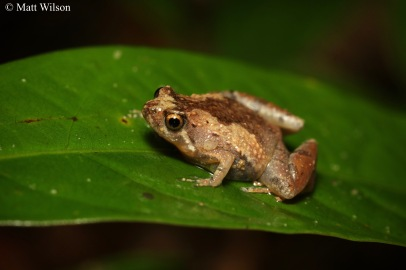 Batu caves chorus frog (Microhyla supraciliaris)