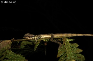Giant angle-headed lizard (Gonocephalus grandis)