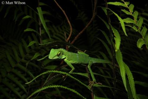 Canopy lizard (Bronchocela cristatella)