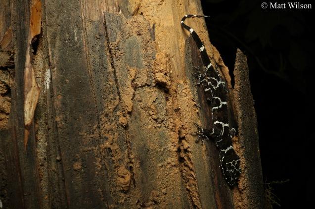 Peter's bent-toed gecko (Cyrtodactylus consobrinus)