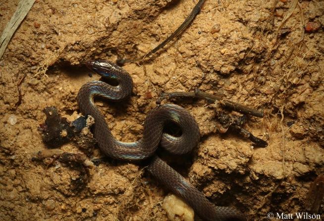 Dwarf reed snake (Pseudorabdion longiceps)