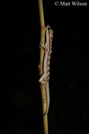 Taylor's bow-fingered gecko (Cyrtodactylus quadrivirgatus)