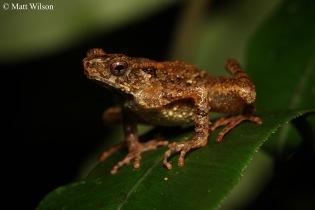 Slender legged toad (Leptophryne borbonica)