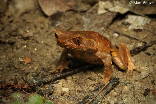 Malayan horned frog (Megophrys aceras)