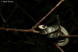 Keeled rat snake (Ptyas carinata)