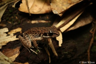 Rough-sided frog (Pulchrana glandulosa)