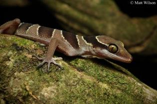 Tuberculate bent-toed gecko (Cyrtodactylus macrotuberculatus)