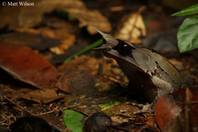 Long-nosed horned frog (Megophrys nasuta)