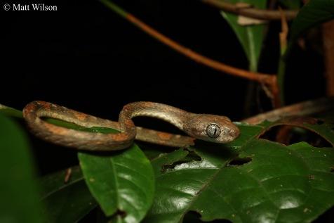 White-spotted cat snake (Boiga drapiezii)