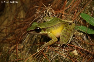 Hose's rock frog (Odorrana hosii)