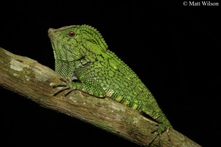 Abbott's angle-headed lizard (Gonocephalus abbotti)