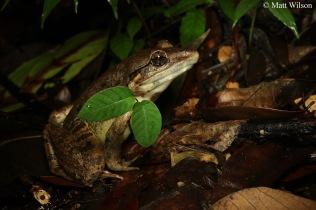 Blyth's river frog (Limnonectes blythii)
