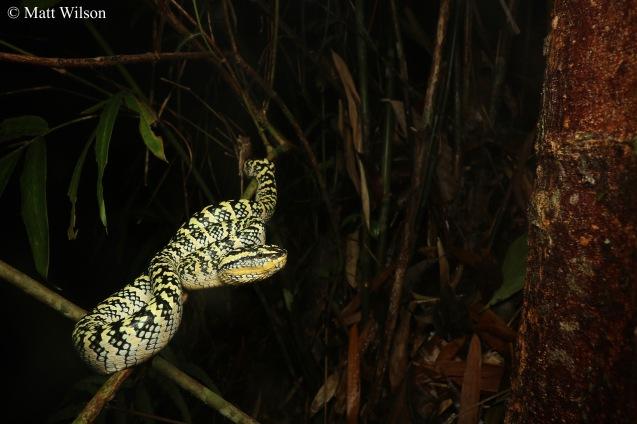 Second Wagler's pit viper (Tropidolaemus wagleri)