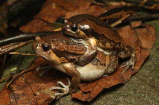 Painted bull frogs (Kaloula pulchra)