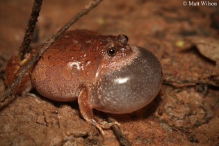 Striped burrowing frog (Glyphoglossus guttulatus)