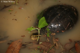 Malayan box turtle (Cuora amboinensis)