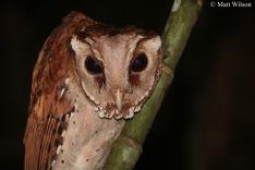 Oriental bay owl (Phodilus badius)