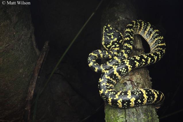 Wagler's pit viper (Tropidolaemus wagleri)