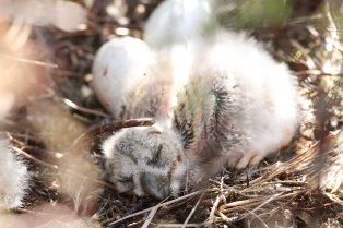 Short-eared owl (Asio flammeus) chick