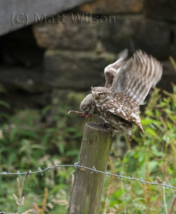 Little owl (Athene noctua) mother feeding a frog to her chick