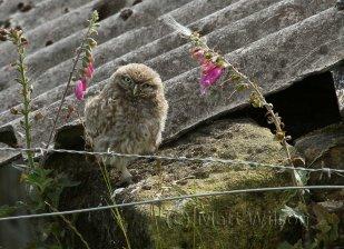 Little owl (Athene noctua) chick