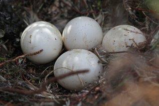 Short-eared owl (Asio flammeus) eggs