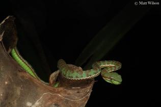 Male Phuket pit viper (Trimeresurus phuketensis) at a well known locality