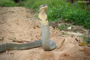 Male King cobra (Ophiophagus hannah) of 4.5 metres