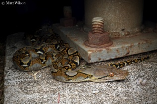 Reticulated python (Malopython reticulatus)