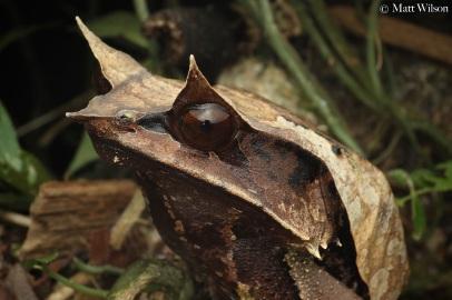 Long-nosed horned frog (Megophrys nasuta), huge female.