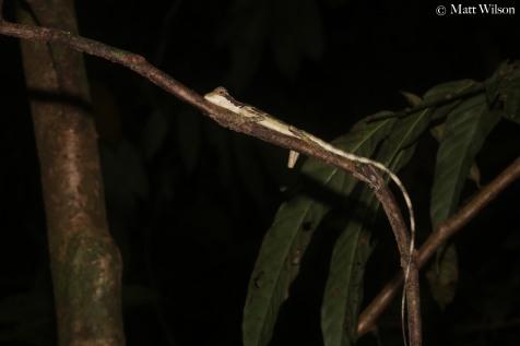 Great angle head lizard (Gonocephalus grandis), juvenile