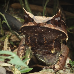 Long-nosed horned frog (Megophrys nasuta), huge female.