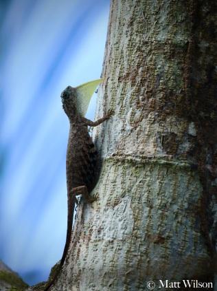 Sumatran flying lizard (Draco sumatranus)