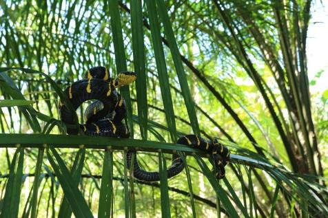 Mangrove cat snake (Boiga dendrophila)
