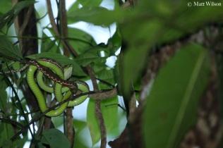 Phuket pit viper (Trimeresurus phuketensis) new locality record
