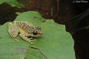 Larut hill cascade frog (Amolops larutensis)