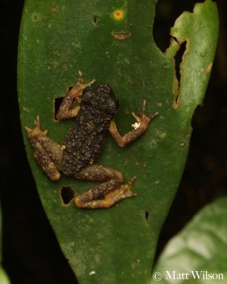 Malayan stream toad (Ansonia malayana)