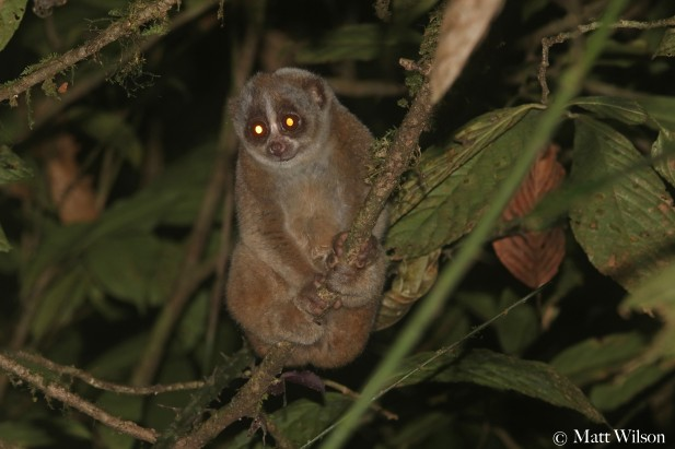 Sunda slow loris (Nycticebus coucang)