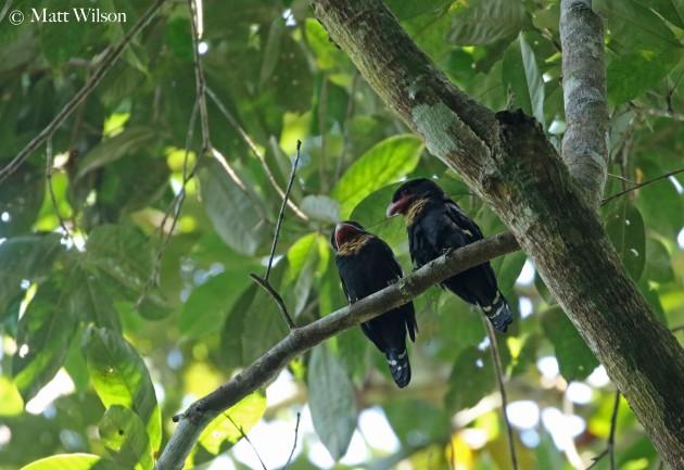 Dusky broadbills (Corydon sumatranus)