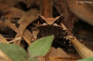 Long-nosed horned frog (Megophrys nasuta)