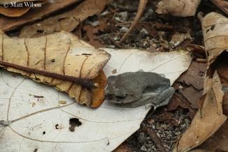 Hendrickson's litter frog (Leptobrachium hendricksoni)
