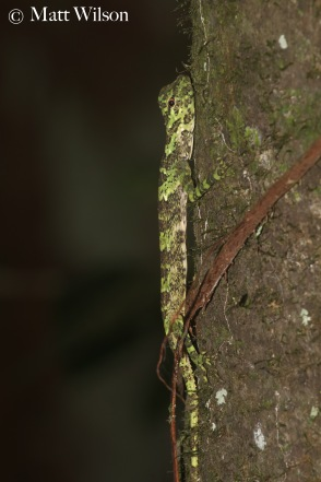 Great flying lizard (Draco maximus)