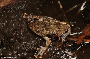 Warted tree frog (Theloderma horridum