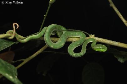 Hagen's pit viper (Trimeresurus hageni)