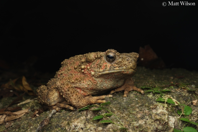 Asian river toad (Phrynoidis aspera)