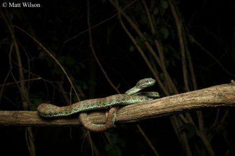 Kui Buri pit viper (Trimeresurus kuiburi)